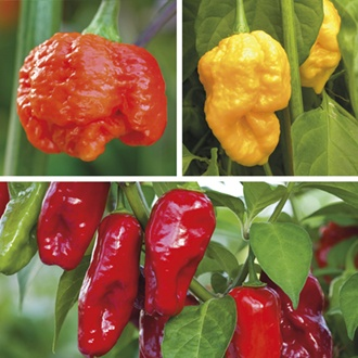 Hottest Chilli: And Everything To KnowAbout It